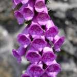 Dedalera  ( Digitalis purpurea )