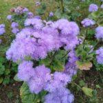 Agerato, planta para arriates y bordes de jardines